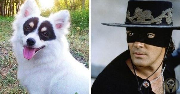 Эта собака в «маске» получила прозвище Зорро благодаря уникальным черным пятнам, покрывающие ее глаза