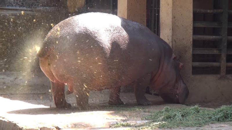 A SUPER FAT HIPPOPOTAMUS URINATES ONE OF A KIND FOUNTAIN BURST OF EPIC PROPORTIONS
