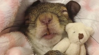 Squirrel rescued from hurricane now sleeps with her teddy bear (Squirrel loves to dress up)