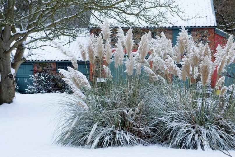 Пампасная трава - одна из самых красивых. Как же вырастить такое чудо на своем дачном участке, изображение №4