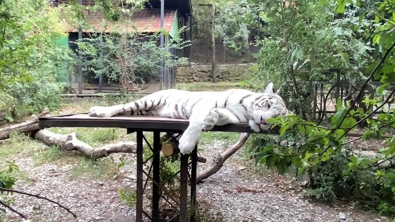Белые тигры Орфея и Фердинанд отдыхают от жары