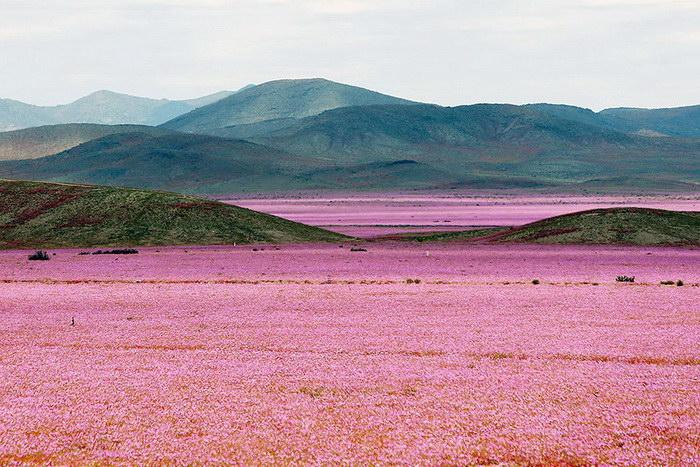 Цветущая пустыня Атакама, изображение №1