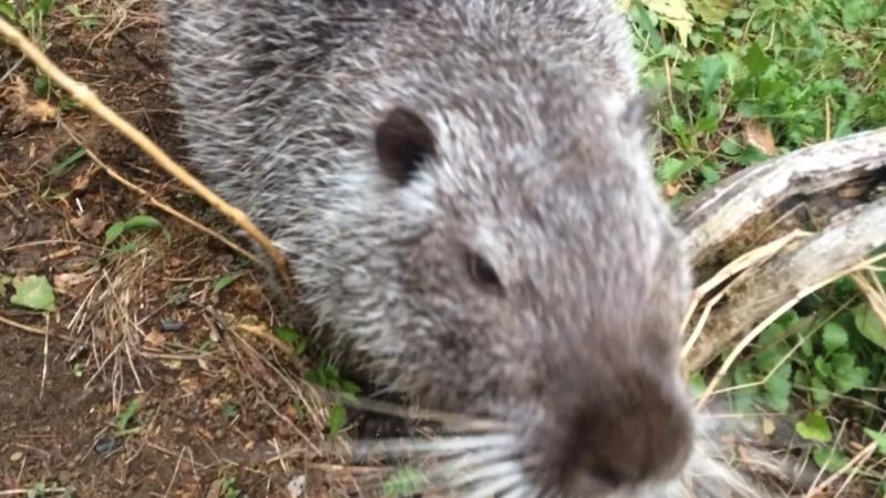 Кормим водяных крыс