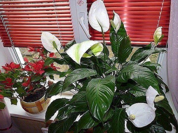 Спатифиллум - женское счастье  Существуют такие комнатные цветы, которые...