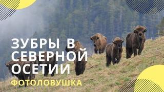 Прогулка гигантов: фотоловушка сняла стадо зубров в Северо-Осетинском заповеднике