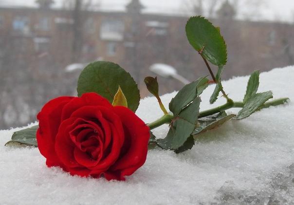 фото букетов роз на снегу только