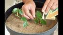 Посадите розы в ноябре декабре черенками дома этим способом для волшебного цветения весной