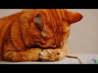 Хозяйка вытолкала КОТА за порог  Персик лежал на коврике, от страха пряча плоскую мордочку в лапах
