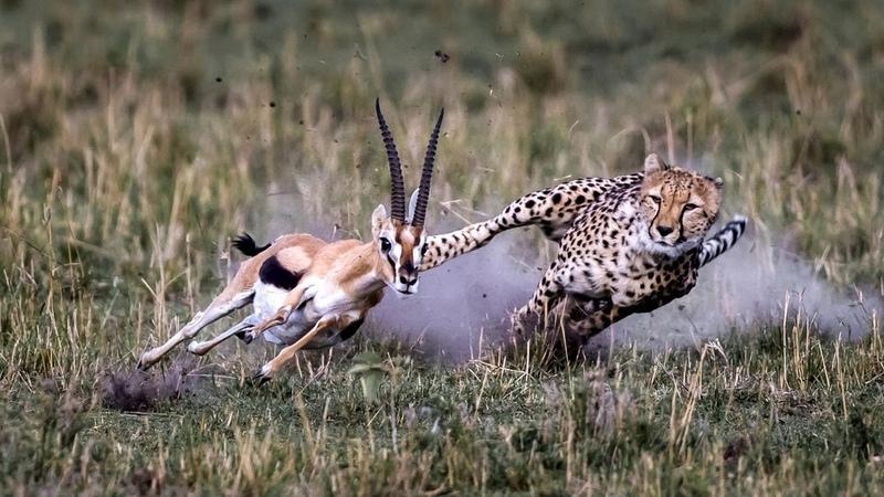 Самое быстрое сухопутное животное в мире ГЕПАРД В ДЕЛЕ Бегун спринтер и самонаводящаяся ракета