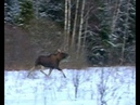 Охота на Лося. Moose hunting. Film one. Фильм первый.