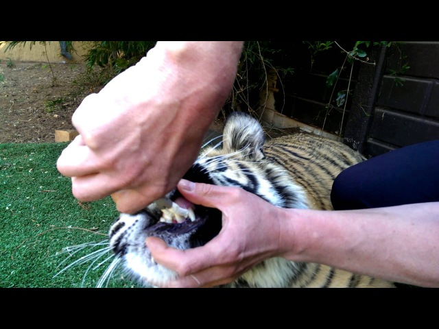 Pulling a tiger's tooth!