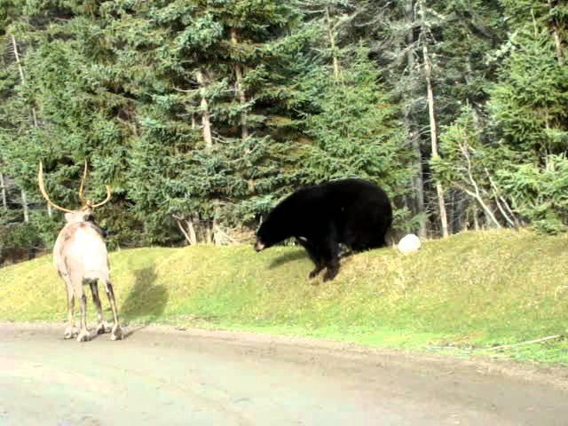 Ours noir et caribou black bear and caribou Zoo sauvage de St Félicien