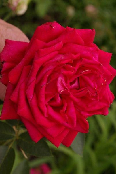 постарались роза сорт софи лорен описание фото хотите