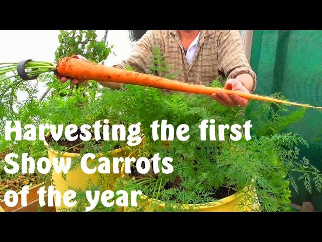 Allotment Diary Harvesting the first Exhibition Show Carrots