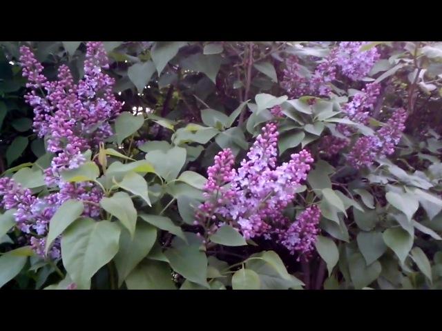 Пік весняного цвітіння в Житомирі