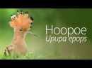 Hoopoe / Удод / Upupa epops