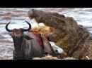 Wild Animals Attack 3 Крокодилы на Охоте HD