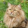 Питомник сибирских кошек Байкалтенгри