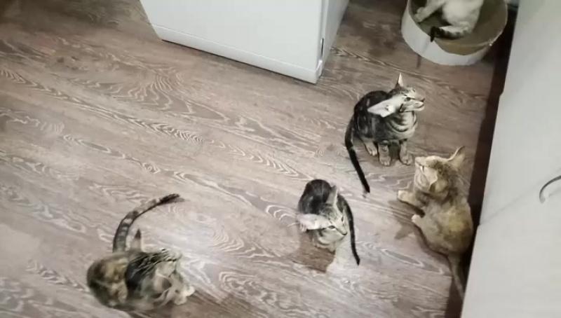 ориентальные котята КЛК Талисман