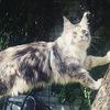 "Питомник ""Estelar"" (котята мейн-кун)"