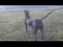 фаина питбуль собака преданная, жить без хозяина не будет