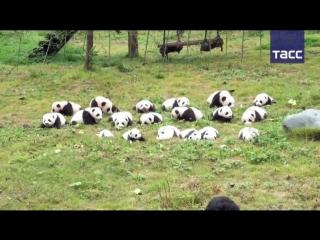 Большое собрание маленьких панд