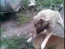 Собачьи бои 18 питбуль и кангал