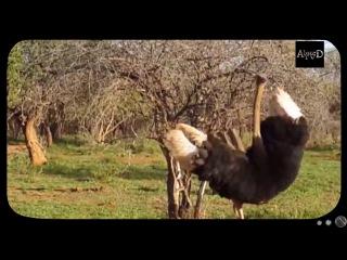 В ЮАР страус напал на мужчину, пытавшегося его обнять #103