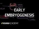 Early embryogenesis - Cleavage, blastulation, gastrulation, and neurulation   MCAT   Khan Academy