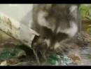 Енот Вилли Плохой пес, Animal Planet