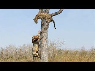 Không ngờ báo đốm lợi hại đến thế sư tử phải nể môn võ khinh Công - Lion vs leopard on tree