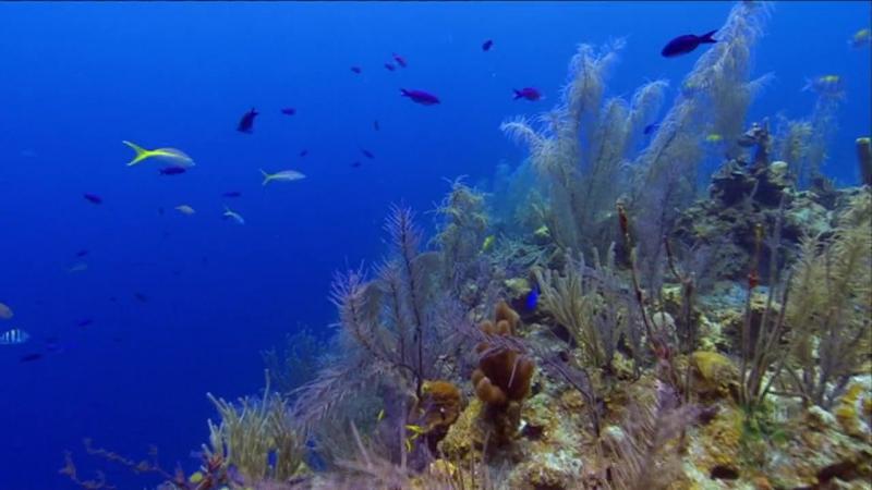 ВВС. Дикие Карибы. Живые сокровища Карибских рифов. 2007