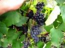 ВИНОГРАД Изабелла созрел пора делать вино 2017
