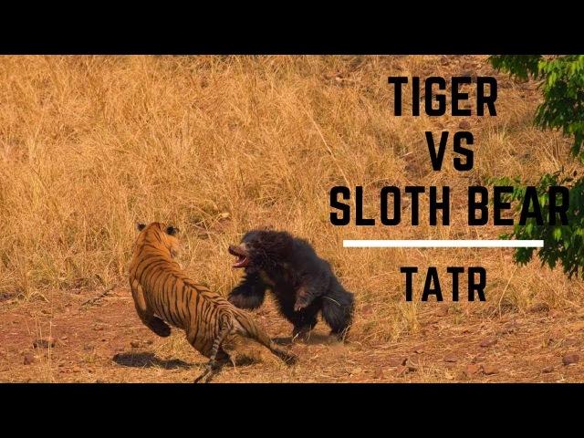 Tiger and Sloth bear fight very rare tadoba andheri tiger reserve