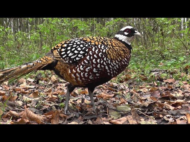 Bažant královský Syrmaticus reevesii Königsfasan Reeves's pheasant