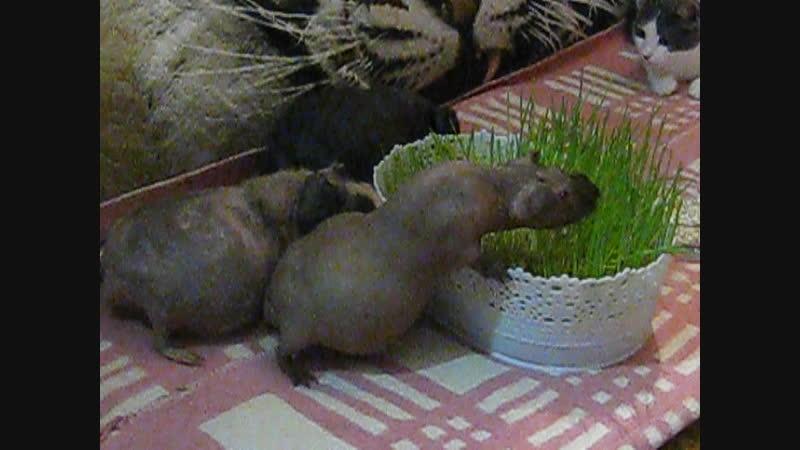 Три полуграции поедают свежую траву
