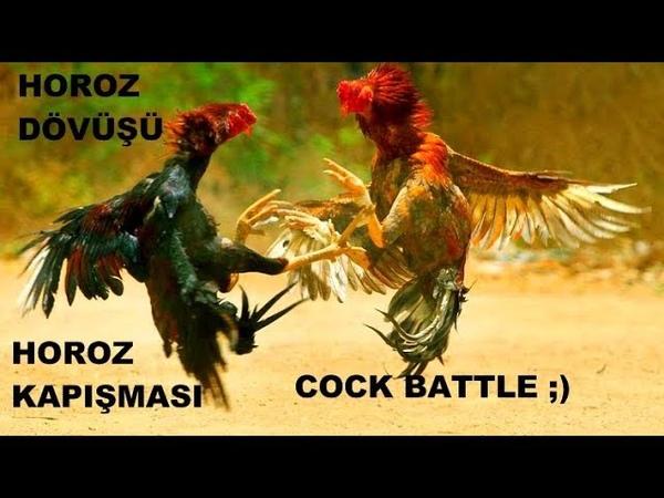 HOROZ Dövüşü Dövüş Horozu Horoz Kapışması Gezen Tavuk