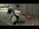 Panda cubs and nanny Mei's war 2
