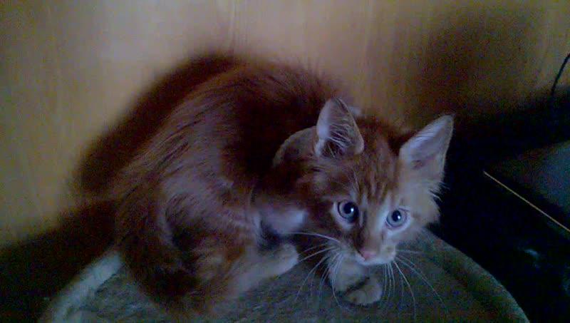 Мейн кун. Котята.
