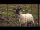 ZHUTKIJ KRIK kozy