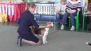 Бигль Региональная выставка собак в Великом Новгороде