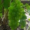 Выращивание винограда в Твери