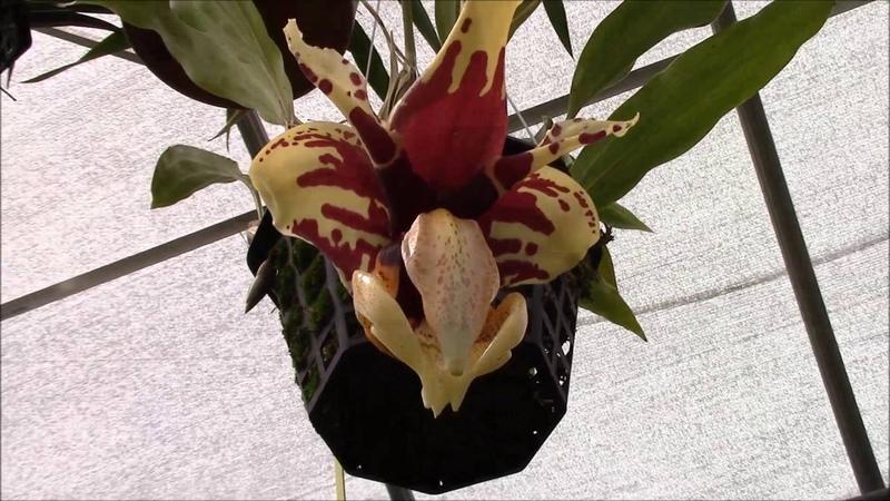 Stanhopea tigrina 'Glory of Mexico'