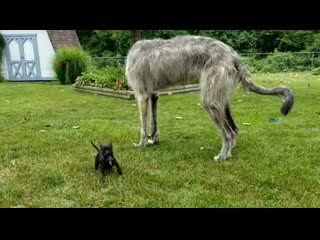 Seamus-the-wolfhound-is-trying-to-figure-out-just-how-to-play-with-little-Klaus-without-stepping-on-him_2.mp4