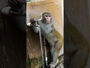 Environmentally-friendly monkey turns off tap after drinking water