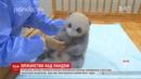 Китайська харчова компанія офіційно всиновила маленьку панду