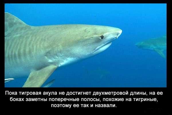 Valteya - Интересные факты о акулах / Хищники морей.(Видео. Фото) - Страница 2 HszbbClEo1U
