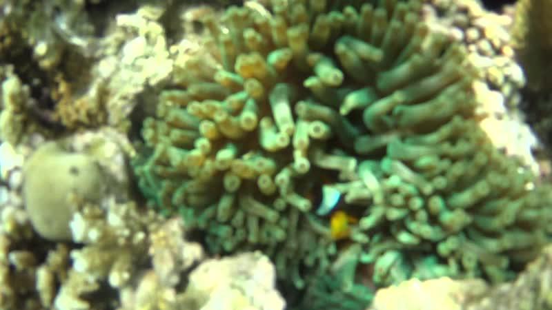 MAH00106 (риф около труб - актиния и рыба клоун)