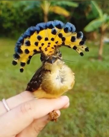 Maxgalkinru Амазонский венценосной мухоед 😍 Вам в ленту для расслабухи. Нашёл у @stefanoianirophotographyмаксимгалкин