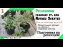 Вкореняване във форми за разсад на Pelargonium fragrans cv. или Nutmeg Scented. Част 1